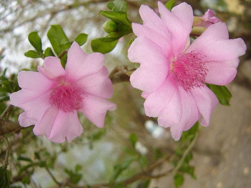 la rosa de bayahibe
